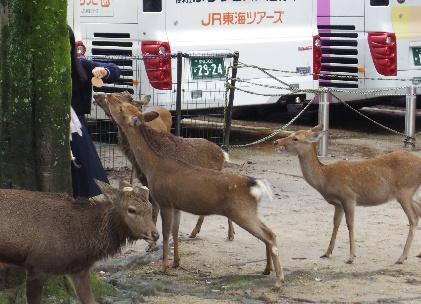 写真①鹿せんべいを求めて
