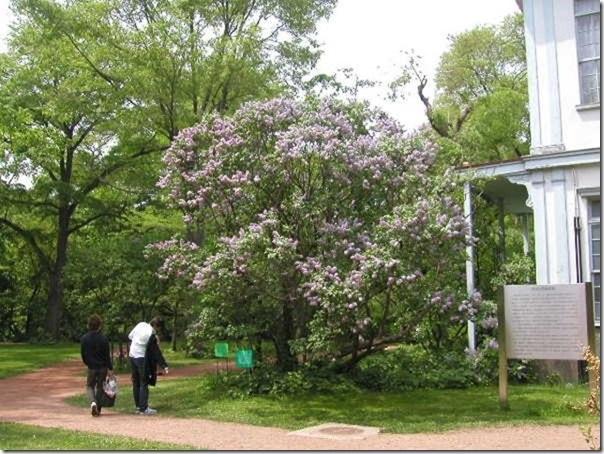 北大植物園のライラック[2]